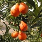 orangequat Nippon