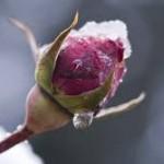 Protection hivernale des végétaux d'extérieur
