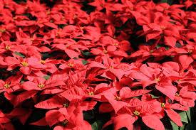 les plus belles plantes d 39 hiver jardinerie riera. Black Bedroom Furniture Sets. Home Design Ideas