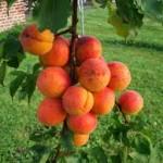 abricotier