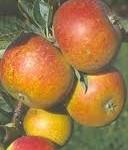 cox orange
