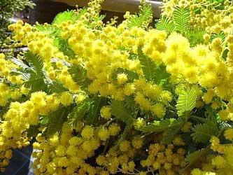 mimosa1