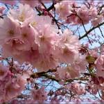 Cerisiers!