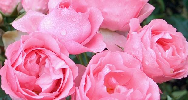 La plantation d'un rosier