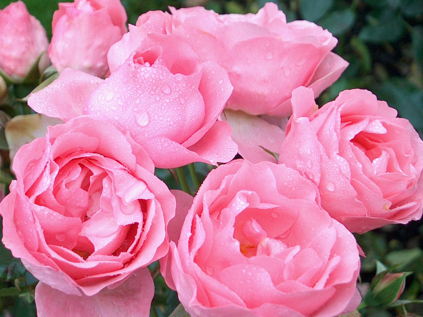 La plantation d un rosier jardinerie riera - Quand couper les rosiers ...