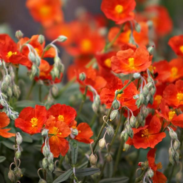 Vivaces longue floraison jardinerie riera - Fleurs vivaces longue floraison ...
