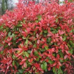PHOTINIA RED ROBIN riera