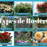 Les types de rosiers