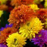 Pourquoi les chrysanthèmes sont-elles les fleurs de la Toussaint ?