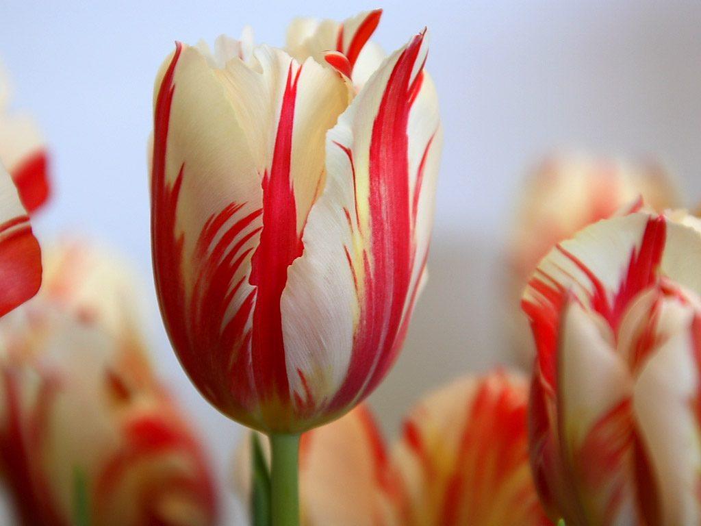 bulbe tulipe apres floraison