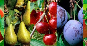 Avril au jardin fruitier – la taille