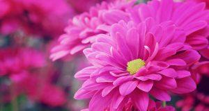 Quelles fleurs choisir pour la Toussaint ?