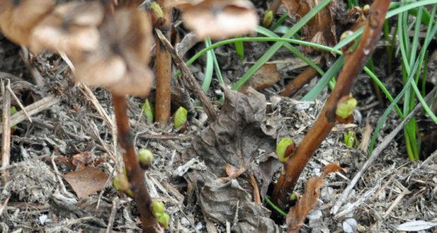 Taille de l'hortensia