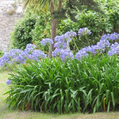 agapanthe-bleue-pj-g1
