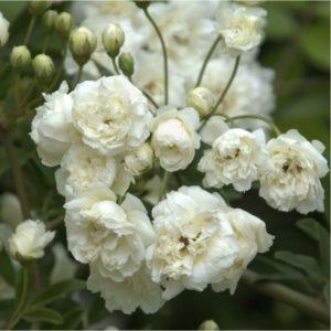 rosa-banksiae-alba-plena-rosier-liane-sans-epines-blanc