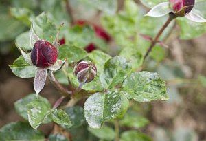 oidium-rosier-riera