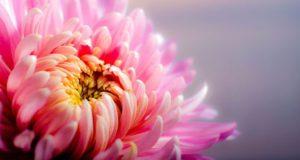 chrysantheme Riera 1