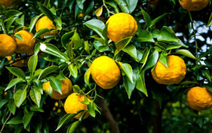 yuzu-citrus-tree-jardinerie riera venelles