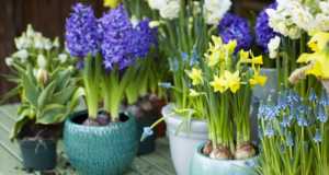Bulbes en pot – jacinthe, narcisse, muscari – préparent le printemps en beauté !