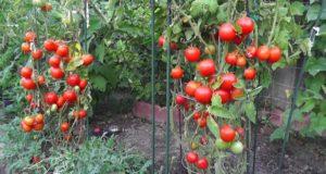 Traiter les parasites et maladies des tomates