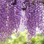 glycine violete