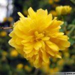kerria-japonica-fleur-600x450