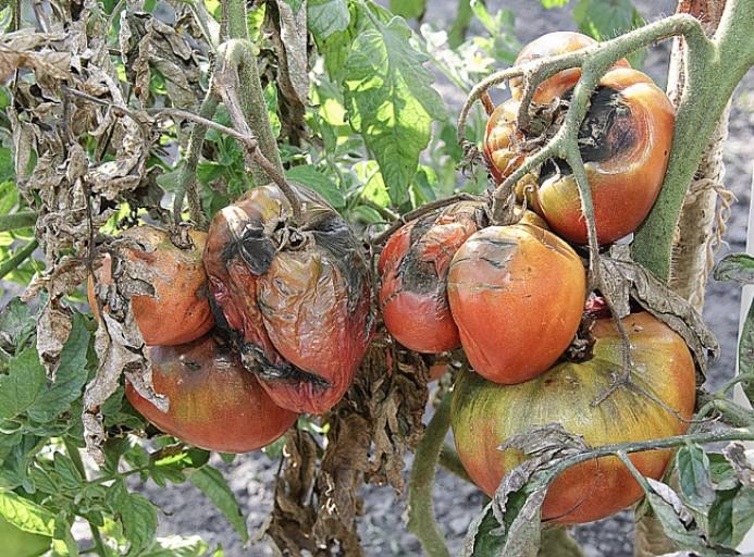 mildiou tomates riera venelles