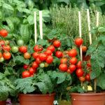 tomates riera venelles Aix