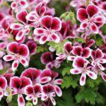 geranium jardinerie riera venelle2s