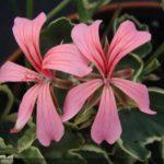 geranium jardinerie riera venelles3