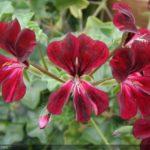 geranium jardinerie riera venelles4
