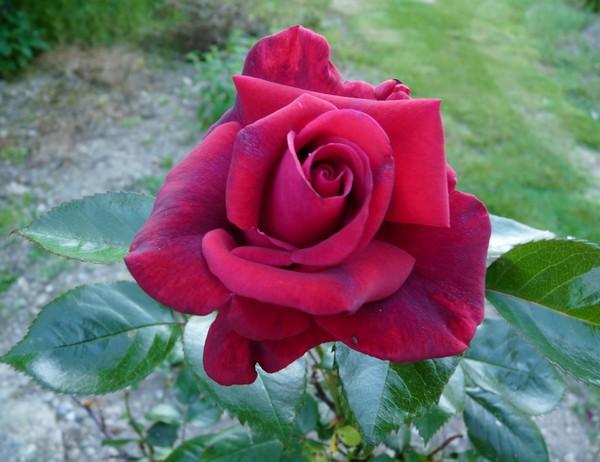 rose rouge riera venelles aix