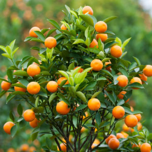Dwarf-Brown-Select-Satsuma-Tree-03