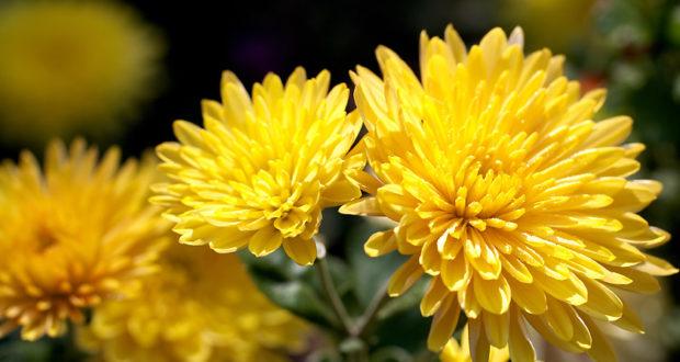 Les chrysanthèmes et les cyclamens de Toussaint sont arrivés.