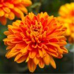 chrysantheme promo riera venelles1