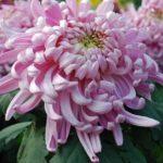 chrysantheme promo riera venelles6