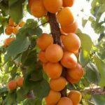 abricotier jardinerie riera