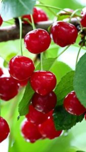 cerisier jardinerie riera