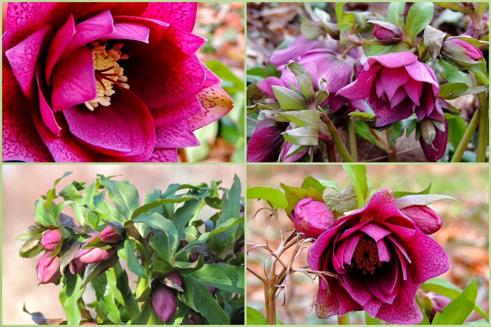 Hellebore Rose De Noel Entretien les hellebores - jardinerie riera